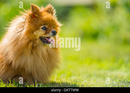 Closeup of small dog in meadow - Stock Image