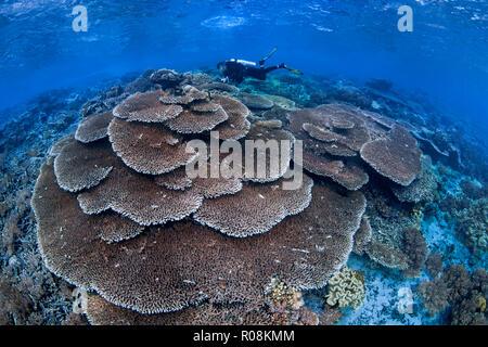Female scuba diver photographs large colony of Acropora table corals. Raja Ampat, Indonesia. April, 2018. - Stock Image