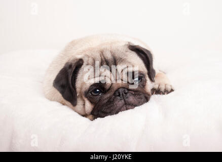 sad little pug puppy dog, lying down crying on fuzzy blanket - Stock Image