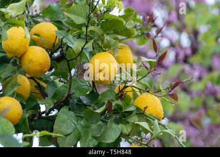 Ripe yellow lemon, tropical citrus fruit hanging on lemon tree with water drops in rain with pink blossoming tree on background - Stock Image
