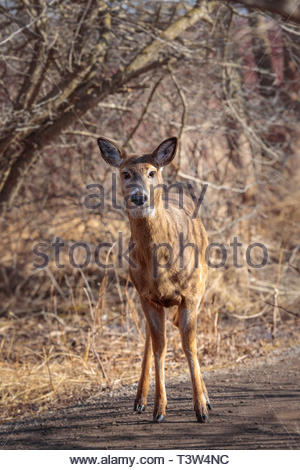 White-tailed deer Odocoileus virginianus looking at Lynde Shores Conservation Area in Whitby Ontario Canada - Stock Image