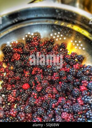 Blackberries after picking - Stock Image