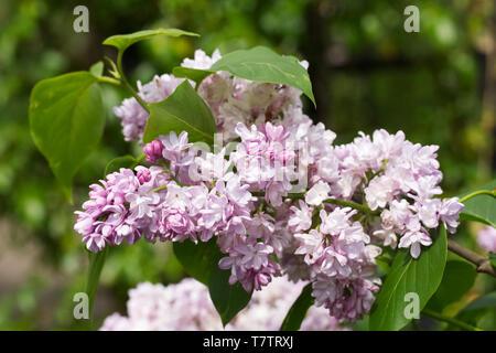 Syringa vulgaris 'Madame Antoine Buchner' flowers. - Stock Image