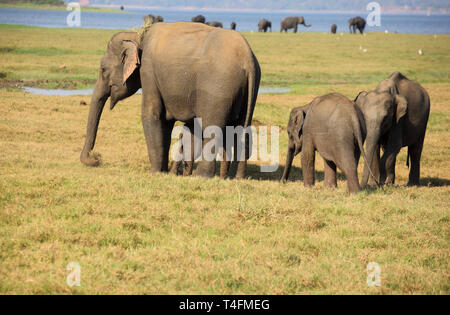 asian elephants in the minneriya national park sri lanka - Stock Image