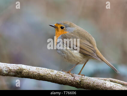 European robin bird - Stock Image