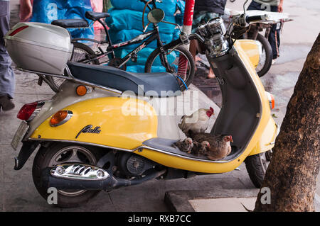 A family of chickens sit on the footrest of a parked moped, Hanoi, Vietnam - Stock Image
