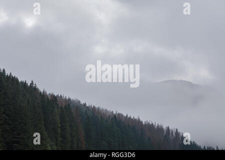 Misty pine forest background, mountainside - Stock Image