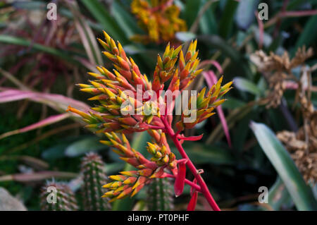 Flower Spikes Of Aechmea mulfordii Commonly known as the Living Vase Bromelia from Brazil - Stock Image