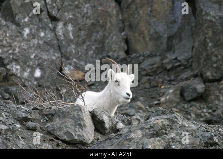Mountain goat Oreamnos americanus in Alaska looking from lying at cliff side near Anchorage - Stock Image