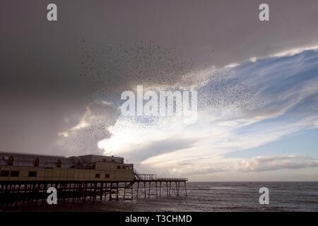 Starlings gathering above pier.seeking roosting spot. - Stock Image