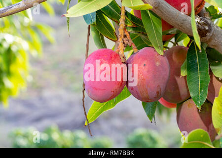 Tropical mango tree with big ripe mango fruits growing in orchard on Gran Canaria island, Spain, cultivation of mango fruits on plantation. - Stock Image