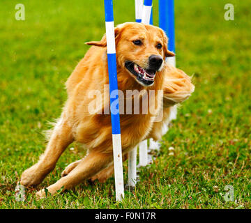 A dog navigates the slalom weave poles at the Agility Association of Canada's 2014 national dog agility championships - Stock Image