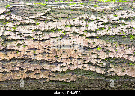 Detailed image of part of an old tree trunk with bark and moss - Stock Image