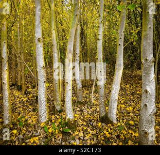 Young Silver Birch trees in autumn. - Stock Image