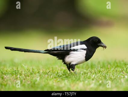 Magpie, Pica pica, gathers grass and moss for lining its nest of twigs, Queen's Park, London, United Kingdom - Stock Image