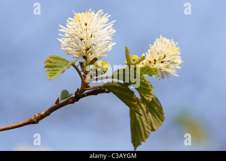 Close-up image of a blossom Fothergilla (Fothergilla Major) in spring time. - Stock Image