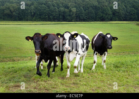 curious cows on a meadow - Stock Image