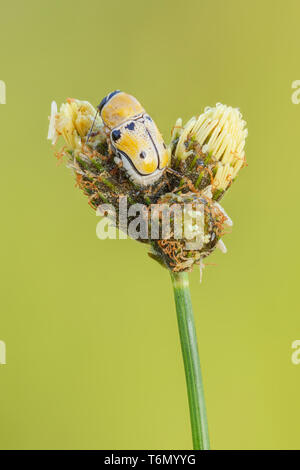 A Case-bearing Leaf Beetle (Griburius larvatus) perches on a leaf. - Stock Image