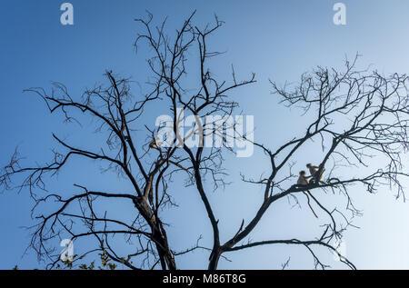 Family of Hanuman Langur (monkey) on a tree in India. - Stock Image