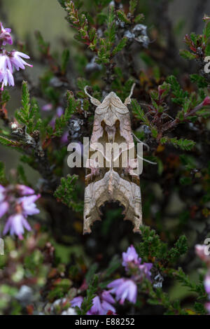 Angle shades moth (Phlogophora meticulosa) resting on heather the daytime the Bog Shropshire UK Europe - Stock Image