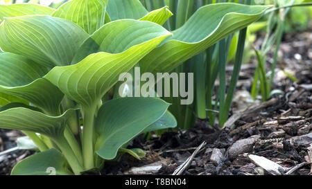 Hosta broad leaf garden plant - Stock Image