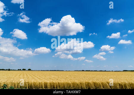 Wheat Growing next to the San Luis National Wildlife refuge in the Central Valley of California - Stock Image
