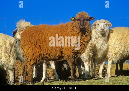 Navajo-churro sheep of various colors in sheep corral at, Rocky Ridge, Navajo Nation, Arizona, USA - Stock Image