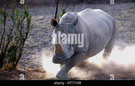 Rhinoceros charging - Stock Image