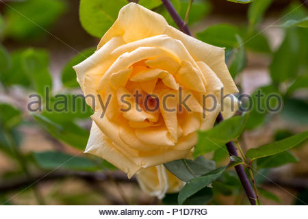Apricot yellow rose bred in 1910 by Lowe & Shawyer 'Lady Hillingdon' - Stock Image
