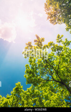 Beautiful background with green oak foliage against a deep blue sky with the sun - Stock Image