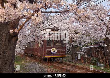 Local brown train going through a tunnel formed by branches of  cherry blossom trees in bloom. - Stock Image