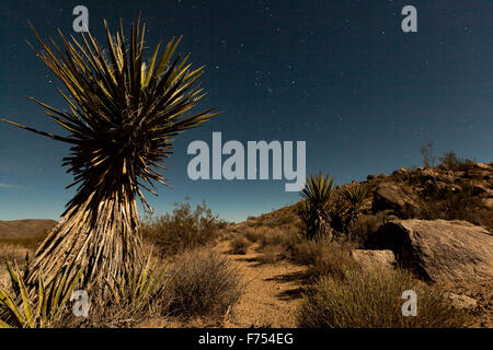 Yucca Tree in the moonlight - Stock Image