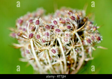 Wild Carrot (daucus carota), close up of the tightly bound seedhead showing detail of the spiny seed pods. - Stock Image