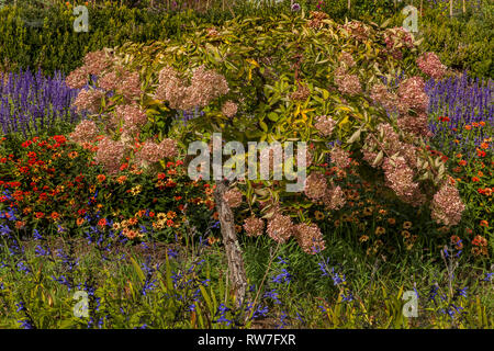 Hydrangea Tree Densely Surrounded by Colorful Flower Garden - Stock Image