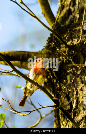 A british european robin singing in a tree - Stock Image