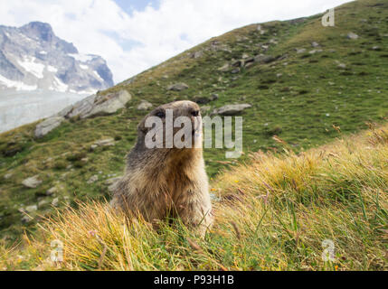 Proud marmot - Stock Image