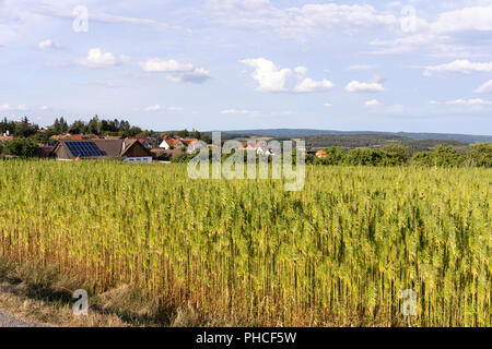 Mature industrial hemp (Cannabis Sativa) growing in Lower Austria - Stock Image