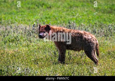 Spotted hyena (Crocuta crocuta) in Ngorongoro Crater, Tanzania, Africa - Stock Image