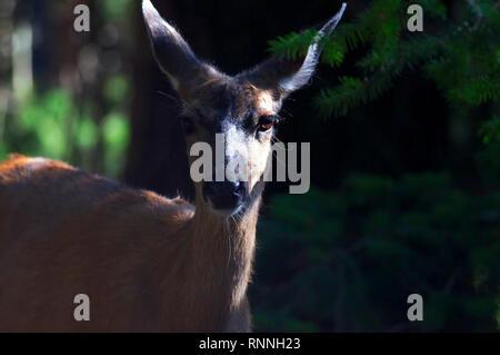 A  Columbian black-tailed deer doe (Odocoileus hemionus columbianus) standing in the shadows of some nearby trees. - Stock Image