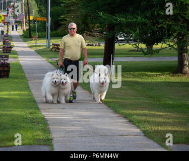 Man walking three Samoyed dogs on the sidewalk in Speculator, NY USA - Stock Image