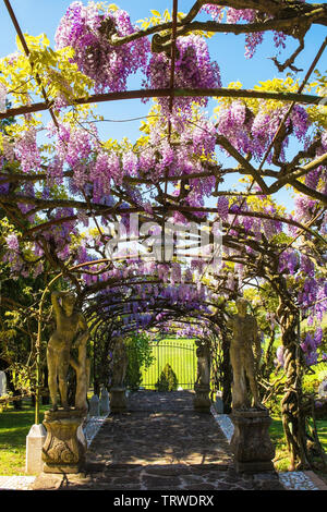 A large wisteria vine being supported by an arched frame in a garden in north east Italy - Stock Image
