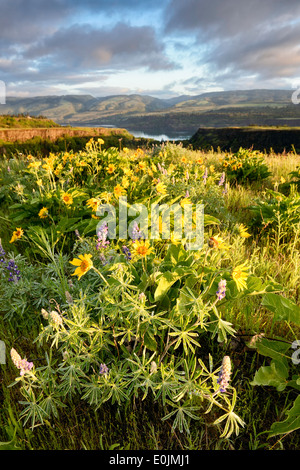Arrowleaf Balsamroot and lupines bloom on Rowena Crest in the Columbia River Gorge in spring. - Stock Image