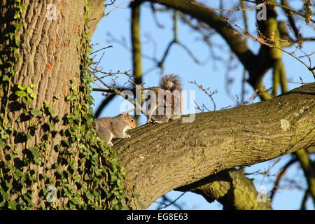 Grey squirrels on branch of oak tree, warm morning light - Stock Image