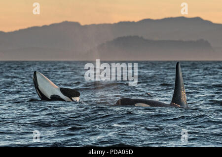 Orcas in the Southern Resident Killer Whale endangered J Pod play in the Salish Sea at sunset August 4, 2018 off Vancouver Island, British Columbia, Canada. J-Pod Orcas have suffered declines in numbers and health and will be part of a program to treat them with antibiotics to assist the struggling pod. - Stock Image