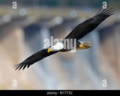Bald Eagle in Flight with Fish - Stock Image