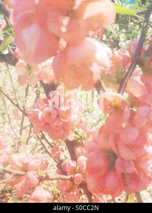 Pretty peach Bokenohana or flowering quince in Spring, with painterly texture overlay. - Stock Image