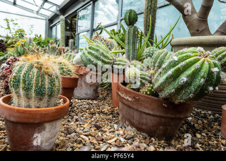 Catci growing in teracotta pots in a gravel. - Stock Image