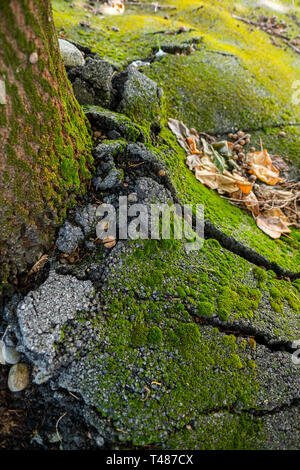 Old tree growing and cracking concrete pavement - Stock Image