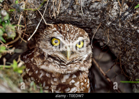 Burrowing owl is looking mean while guarding the nest entrance. - Stock Image