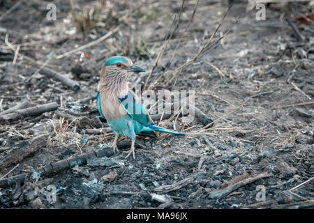 Indian Roller, Caracas benghalensis, standing on the ground, Bandhavgarh National Park, India - Stock Image